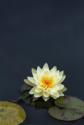 Water Lily, yellow, #12.