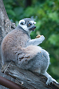A Ringed Tail Lemur sits in a the at the Honolulu Zoo. Missoula Photographer