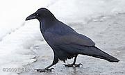 A raven (Corvus corax) struts across ice at Mount Rainier, Washington, USA