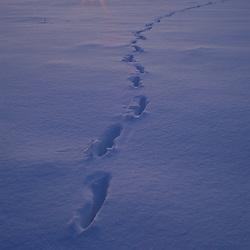Seboeis Plantation, ME. Deer tracks. Winter. Sunrise over snowfield with tracks.