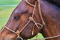 Mongolie, Arkhangai, harnachement et bride de cheval avec des décorations en cuir// Mongolia, Arkhangai, bridle and harness for the horse