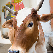 Cow in streets of old town Udaipur