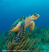 A Hawksbill Sea Turtle, Eretmochelys imbricata, swims over a Palm Beach County, Florida coral reef. This species, critically endangered, is found exclusively on coral reefs worldwide and feeds primarily on sponges. Image available as a premium quality aluminum print ready to hang.