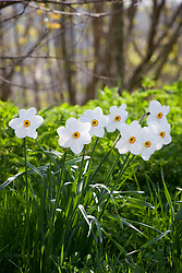 Narcissus actaea growing on a grassy bank with hazel in the background