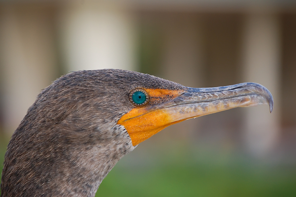 Double-crested cormorant with beautiful turquoise eyes during breeding season, Florida Everglades.