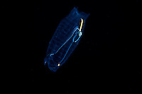 Pelgaic Salp..shot in Hawaii, USA..