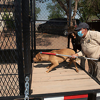 Navajo Nation animal control officers Connie Kady, left, and Ginger Yoe usher a dog into a metal cage trailer as part of a dog sweep in Sundance Tuesday, June 15.