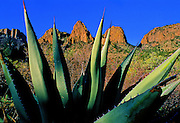 Yucca plant & mountains - Big Bend N.P., Texas.