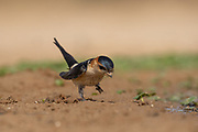 The red-rumped swallow (Cecropis daurica syn Hirundo daurica) is a small passerine bird in the swallow family. It breeds in open hilly country of temperate southern Europe and Asia from Portugal and Spain to Japan, India, Sri Lanka and tropical Africa. The Indian and African birds are resident, but European and other Asian birds are migratory. They winter in Africa or India. Photographed in Israel in May