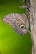 Fruhstorfer's Owl-Butterfly, Caligo oedipus fruhstorferi, Panama, Central America, Gamboa Reserve, Parque Nacional Soberania, resting on tree, side view of wings,