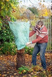 Overwintering a tree fern by tying and wrapping up with fleece bag.