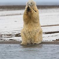 This polar bear is eating kelp on a Beaufort Sea beach near Kaktovik Alaska.