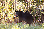 © 2007 Randy Vanderveen, all rights reserved.Grovedale, Alberta.A black bear looks over its shoulder as it grazes near the bush line along  road allowance.