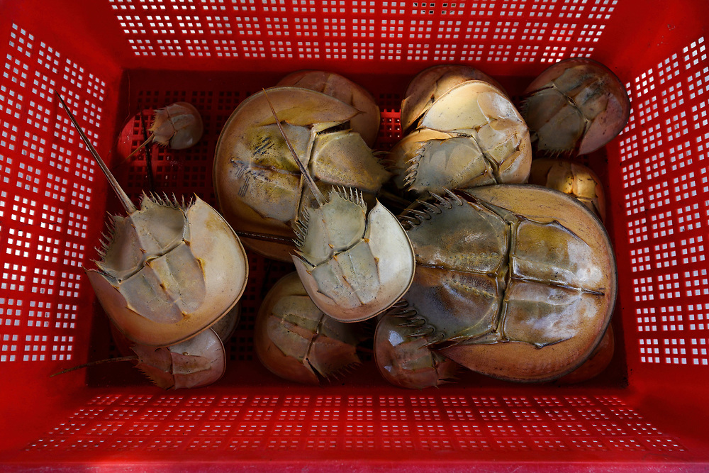 Old shells from the chinese horseshoe crab, Tachypleus tridentatus, Ha Pak Nai is a wetland area, mud-bank in the Yuen Long District facing Deep Bay, New territories, Hong Kong, China. Horseshoe crabs are not crabs at all, but are most closely related to spiders, scorpions and trilobites. Tachypleus tridentatus is a species of horseshoe crab found in the seas off China, Indonesia, Japan, South Korea, Malaysia, the Philippines, Taiwan, and Vietnam. IUCN status is; data deficient.<br /> This Image is a part of the mission Wild Sea Hong Kong (Wild Wonders of China).