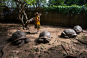 A tourist feeding Aldabra giant Tortoises, one of the largest in the world are the main tourist attraction of Changuu island, also known as prison island, Zanzibar, Tanzania.  Tourists visit prison Island on a daily basis to see the tortoises from Stone Town, Zanzibar.