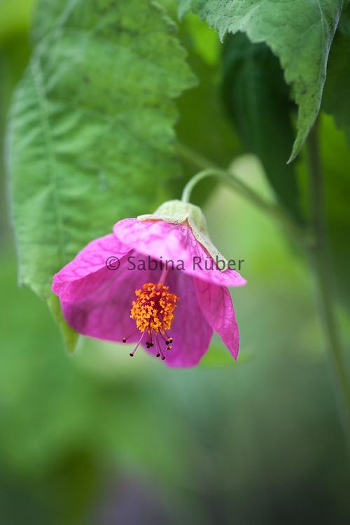 Abutilon hybridum maximum, Giant Flowering Mixed - Indian mallow