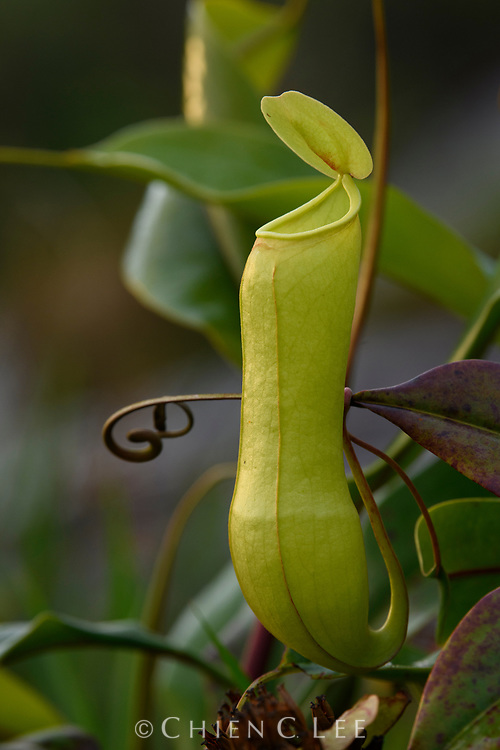 Nepenthes distillatoria, a Sri Lankan endemic and the only pitcher plant species occurring on the island.