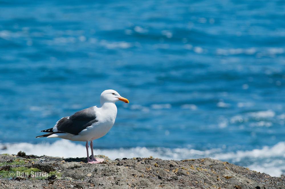 Western gull, Larus occidentalis, on the Pacific coast at Mendocino, California