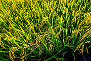 August, 2019, Hoi an: A low bright sun lights up  a close up of the rice before harvest.