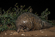 Pangolin (Manis temminckii)<br /> Private Reserve<br /> Location withheld to prevent poaching<br /> Limpopo Province<br /> SOUTH AFRICA
