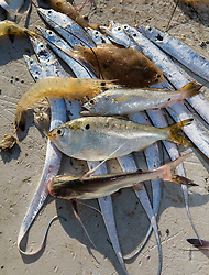 Group of freshly trawled shrimp and a variety of fish from Galveston Bay on the Texas Gulf Coast.