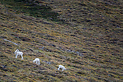 Wildlife photographs of Dall Sheep (Ovis dalli) from Denali National Park of The Alaska Range, AK