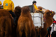 At a local camel fair, a competition to mount, load and ride a wild Bactrian camel, Gobi Desert, Mongolia