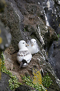 Northern Fulmar, Fulmarus glacialis, St. Paul Island, Pribilof Islands, Alaska. Digital original ©Robin Brandt  #07_8330