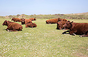 Brown cows chewing the cud on Lizard Peninsula, Cornwall, England, UK