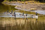 Canada geese (Branta canadensis) swim on Ecola Creek in Cannon Beach city., on the Oregon coast, USA.