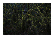 Eerie, dark forest, vine maple covered in mosses