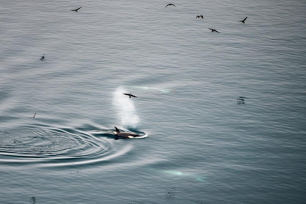 Killer whales in Paradise Harbor, Antarctica