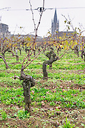 Guyot pruned vines in the vineyard. Twer of the monolithic church. Chateau Clos Fourtet, Saint Emilion, Bordeaux, France