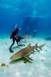 Lemon Sharks, Negaprion brevirostris, scuba divers, and boat, West End, Grand Bahama, Atlantic Ocean