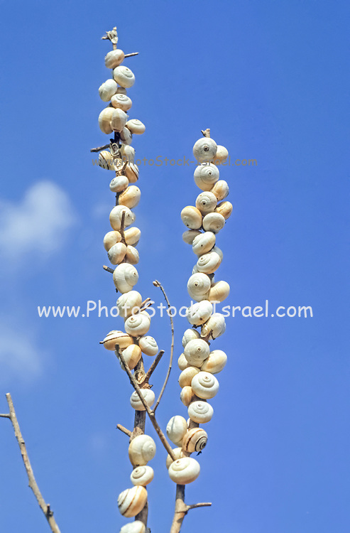a large colony of white garden snails, Theba pisana,