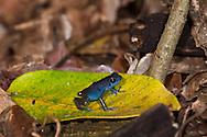 """A blue Strawberry Poison Dart Frog (Oophaga pumilio """"Darkland"""") from an area called Darkland, Panama"""