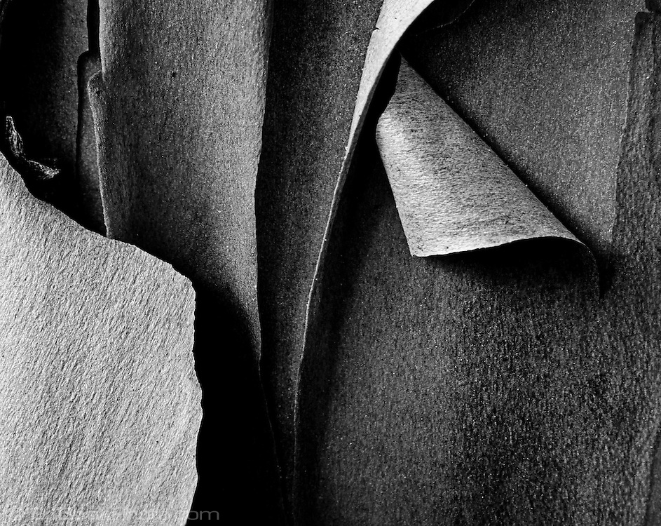peeling  bark Pacific Madrona (Arbutis Menziesii), Kitsap Peninsula, WA, USA high contrast black and white