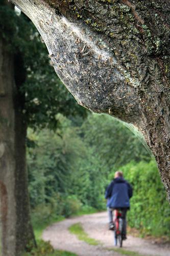 Nederland, Ubbergen, 14-6-2020 Een nest van de eikenprocessierups zit ingekapseld aan een boom . eikenprocessierupsen, kolonie, nest .Foto: Flip Franssen
