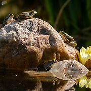 Frogs on a rock heating in the sun
