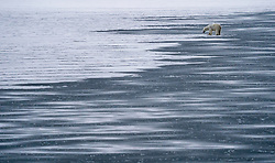 Polar bear (Ursus maritimus) om fjord ice in Spitsbergen, Svalbard, Norway