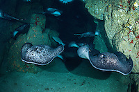Marble Rays, all male, congregate in a reef cavern<br /> <br /> <br /> Shot at Cocos Island, Costa Rica