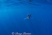 striped marlin, Kajikia audax (formerly Tetrapturus audax ), off Baja California, Mexico ( Eastern Pacific Ocean ) (dm)