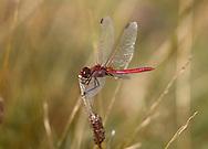 Red-veined Darter - Sympetrum fonscolombii