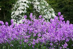 Hesperis matronalis in the cutting garden. Sweet rocket, Dame's rocket, Damask violet, Dame's-violet