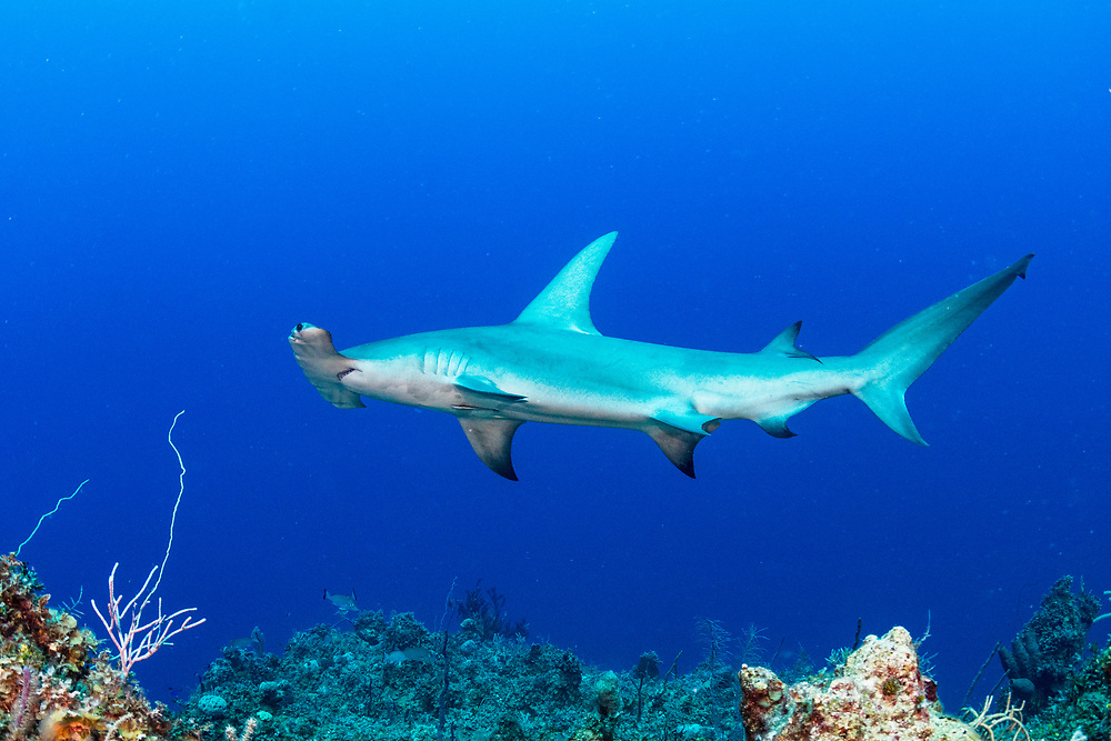 Great Hammerhead Shark (Sphyrna mokarran) swimming along a coral reef wall in the Exuma Cays Land and Sea Park, Bahamas