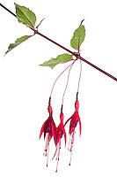 Fuscia flowers high key in meet your neighbours outdoor studio - June