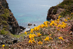 Prostrate form of Dyer's Greenweed growing on cliffs at the Lizard. Genista tinctoria ssp littoralis