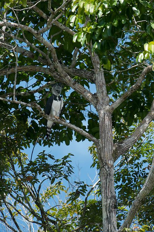 Harpy Eagle (Harpia harpyja)<br /> Rainforest<br /> Rewa River<br /> GUYANA. South America<br /> RANGE: Central and South America<br /> IUCN: NEAR THREATENED
