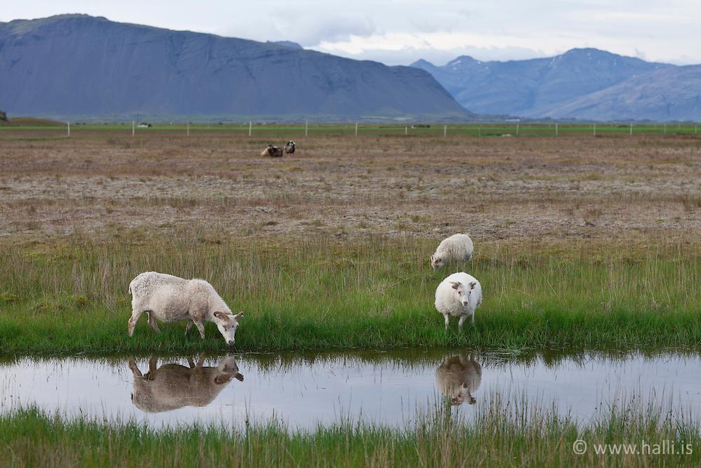 Sheeps near Hoffell, south east of Iceland - Kindur við Hoffell, á suð-austurlandi