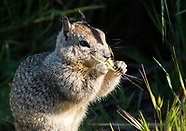 Beechey Ground Squirrel, Otospermophilus beecheyi
